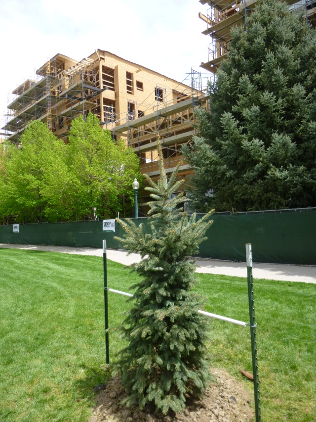 "Ceremonial ""topping tree"" replanted McIlvoy Park"