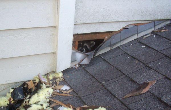 raccoon-inside-home
